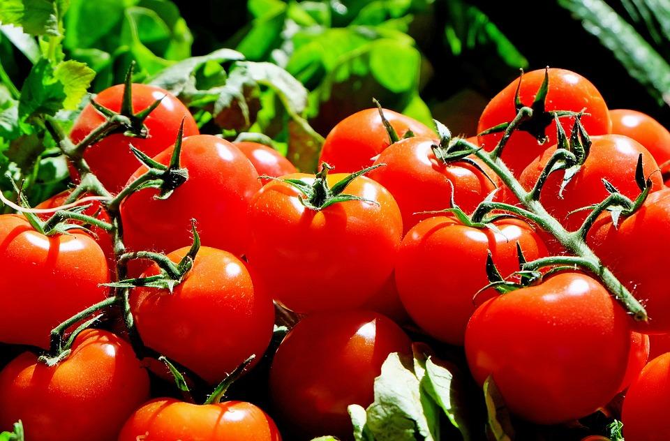 Pěstování rajčat na balkóně